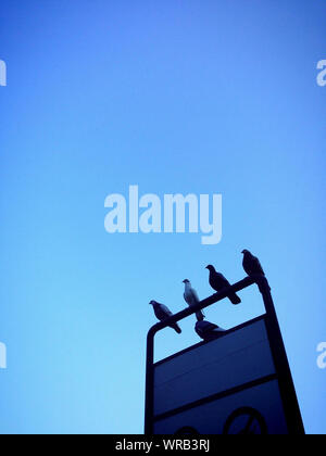 Low Angle View Of Pigeons Perching On Sign Against Clear Blue Sky - Stock Photo