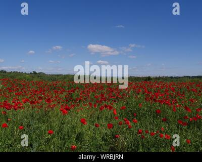 Poppies Growing In Field Against Blue Sky - Stock Photo