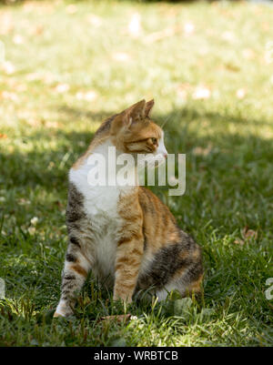 A young calico cat sits on green grass, looks at its left with sharp eyes. - Stock Photo