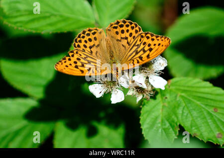 male silver-washed fritillary butterfly taking nectar from bramble flowers - Stock Photo