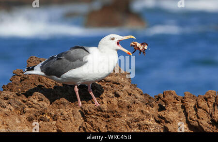 Seagull Eating Crab On Rocky Shore - Stock Photo