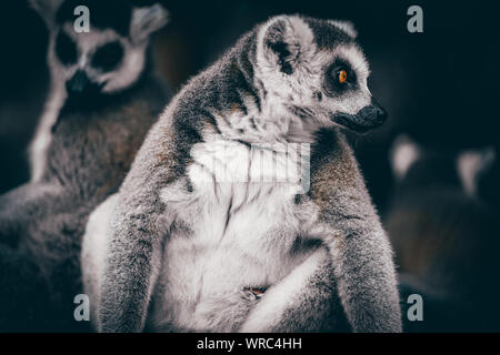 Ring-tailed lemurs rest under a tree to cool off on a scorcher at Ningbo Youngor Zoo in Ningbo City, east China's Zhejiang Province, August 3rd, 2019. - Stock Photo
