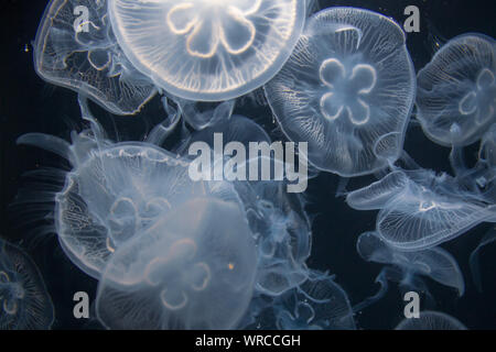 Closeup view of moon jellyfish (Aurelia labiata) drifting with the current into bright light in front of a black background