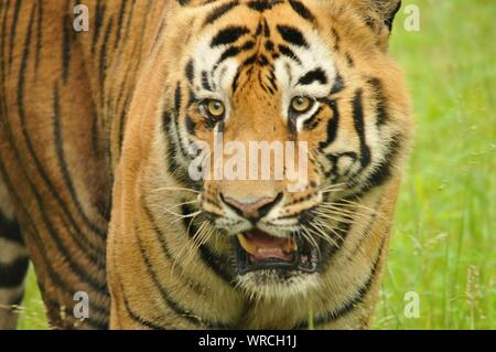 Close-up Of Tiger On Field - Stock Photo