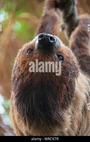 Close-up view of the head of a linnaeus's two-toed sloth (Choloepus didactylus) hanging upside down in a tree