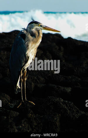 Side View Of Great Blue Heron Standing On Rocks - Stock Photo