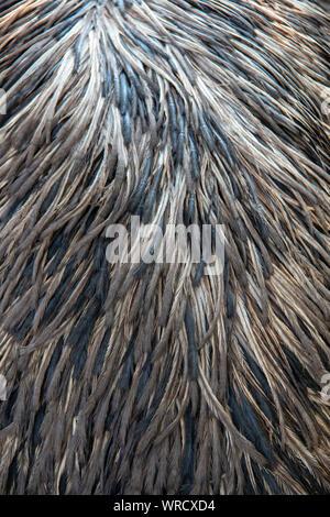 Plumage of an adult Emu (Dromaius novaehollandiae) - Stock Photo