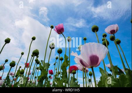Low Angle View Of Opium And Pink Poppy Flowers Blooming Against Sky - Stock Photo