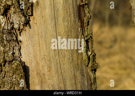 Forest dying Climate change Dead tree with flaked bark and wormholes Worm traces - Stock Photo