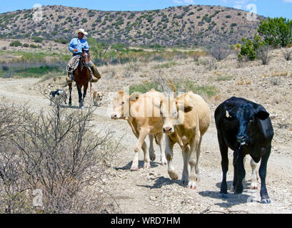 Cowboy and his dogs bringing in cattle during a roundup on a West Texas ranch. - Stock Photo
