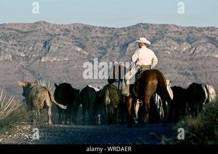 Cowboy driving some cattle towards shipping pens during a roundup on a West Texas ranch. - Stock Photo