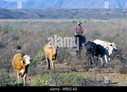 Cowboy bringing in some cattle during a roundup on a West Texas ranch. - Stock Photo