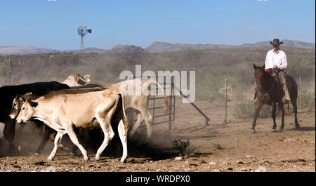 Cowboy bring in cattle during a roundup on a West Texas ranch. - Stock Photo