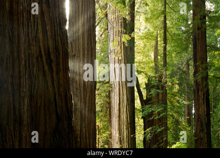 CALIFORNIA - Sun breaking through the morning clouds and shining through the Redwood trees at Stout Grove in Jedediah Smith Redwoods State Park. - Stock Photo