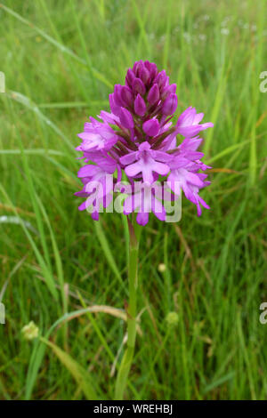 Partly open, pink, purple forets on flower spike of a pyramidal orchid (Anacamptis pyramidalis) on Hungerford Common, pyramid shape, Berkshire, June - Stock Photo