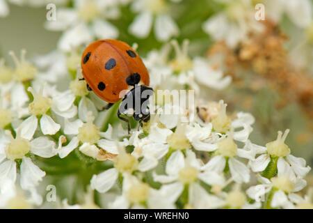 A native seven-spot ladybird (Coccinella septumpunctata) feeding on nectar from a hogweed flower, Berkshire, July - Stock Photo