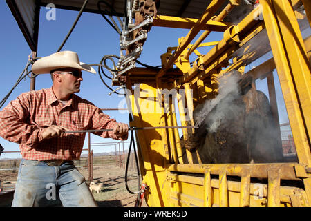 Cattle branding on a remote West Texas ranch. - Stock Photo