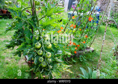 Green tomatoes growing in a pot in a back garden on a sunny day in summer August 2019  Dyfed Carmarthenshire Wales UK  KATHY DEWITT - Stock Photo