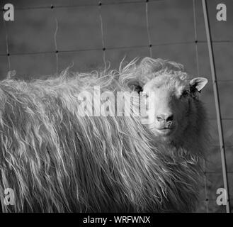 Close-up Of Sheep Standing In Animal Pen Stock Photo