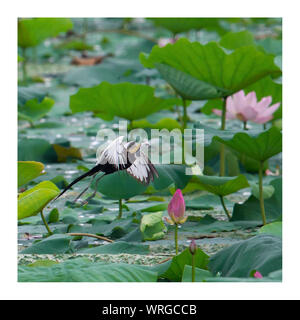 Bird Flying Over Lotus Water Lilies Growing In Pond - Stock Photo