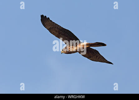 Cinereous Harrier (Circus cinereus) immature in flight  Lampa Marshes, Chile                   January - Stock Photo