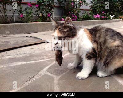 Cat Holding Dead Mouse In Mouth - Stock Photo