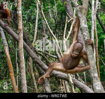 Orangutan Climbing On Trees In Forest - Stock Photo