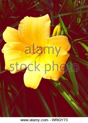 Close-up Of Yellow Amaryllis Blooming On Field - Stock Photo
