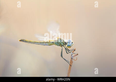 Red-veined darter (Sympetrum fonscolombii), female - Stock Photo