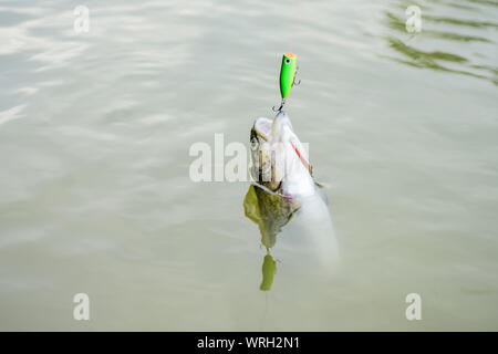 Fish open mouth hang on hook. Fish in trap close up. Bait spoon fishing accessory. Fish hook or fishhook is device for catching either by impaling in mouth. On hook. Trout caught. Good catch. - Stock Photo