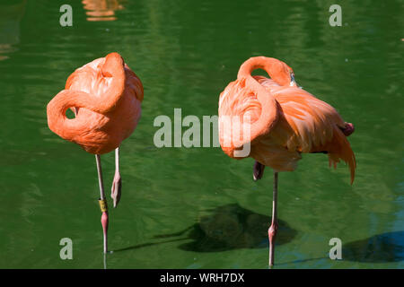 2 Caribbean flamingos standing on one leg with their heads tucked in at their lake in Whipsnade zoo - Stock Photo