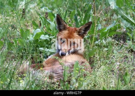 Ein junger Rotfuchs liegt entspannt im Gras und schaut in die Kamera * A young Red Fox lies in the grass and looks alert into the camera - Stock Photo