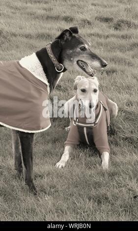 Greyhound And Lurcher On Grassy Field - Stock Photo