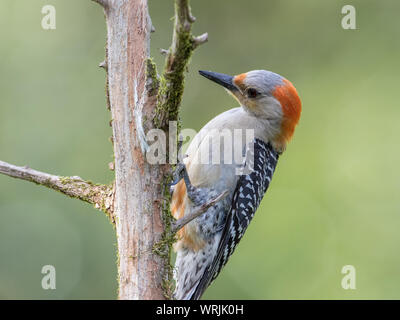 Portrait of a female red-bellied woodpecker, Melanerpes carolinus. - Stock Photo