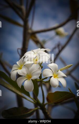 Close-up Of Fresh White Flowers Blooming On Tree - Stock Photo