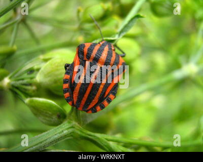 Close-up Of Graphosoma Lineatum On Plant - Stock Photo