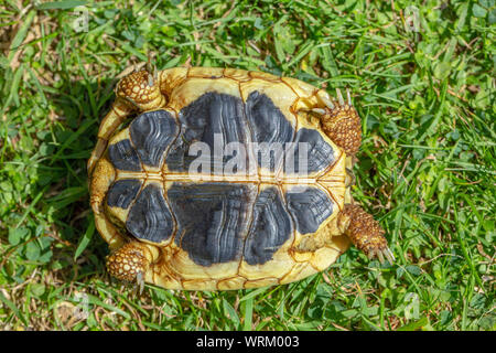 Western Herman's Tortoise (Testudo hermanni hermanni). Close up of the plastron, or underside shell, showing the contrasting continuous yellow and black seams running parallel, side by side, from front to back. One of three identification features for this the nominate subspecies. - Stock Photo