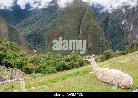 Andean Llama in Machu Picchu - Stock Photo