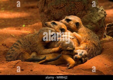 Meerkats Relaxing On Field - Stock Photo