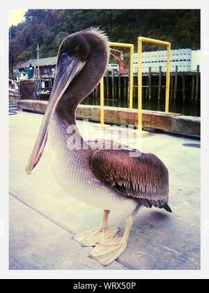 Brown Pelican Standing On Pier - Stock Photo