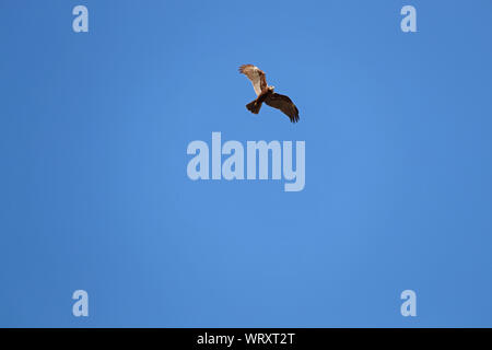 female marsh harrier Latin circus aeruginosus in flight soaring above a field in Italy in springtime - Stock Photo