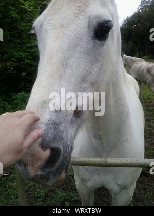 Cropped Image Of Hand Touching Horse - Stock Photo