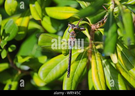Lesser Emperor dragonfly Latin Anax Parthenope on a pittosporum tobira, mock orange, Japanese cheesewood or Australian laurel family pittosporaceae - Stock Photo