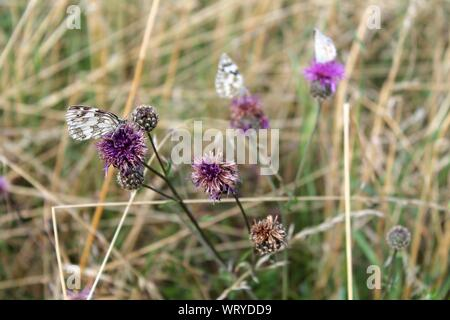 Close-up Of Butterflies Pollinating On Thistle - Stock Photo