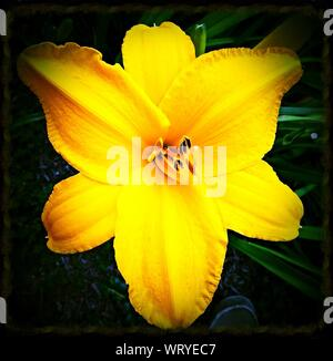 Close-up Of Yellow Amaryllis Blooming Outdoors - Stock Photo