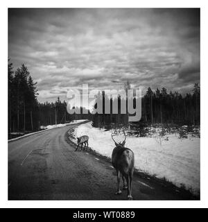 Reindeers On Road Against Sky During Winter - Stock Photo