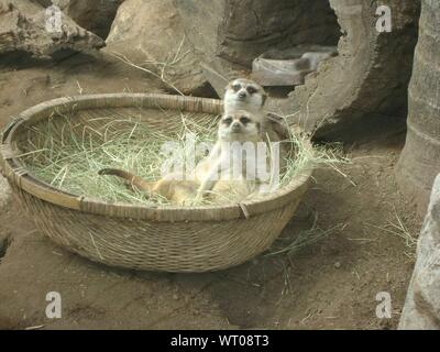 High Angle View Of Meerkats In Wicker Basket At Zoo - Stock Photo
