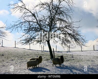 Sheep By Bare Tree On Snow Covered Landscape - Stock Photo