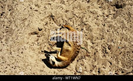 Directly Above Shot Of Meerkat Relaxing On Field - Stock Photo