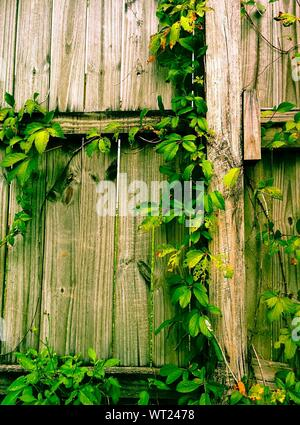 Detail Shot Of Creepers On Wooden Wall - Stock Photo
